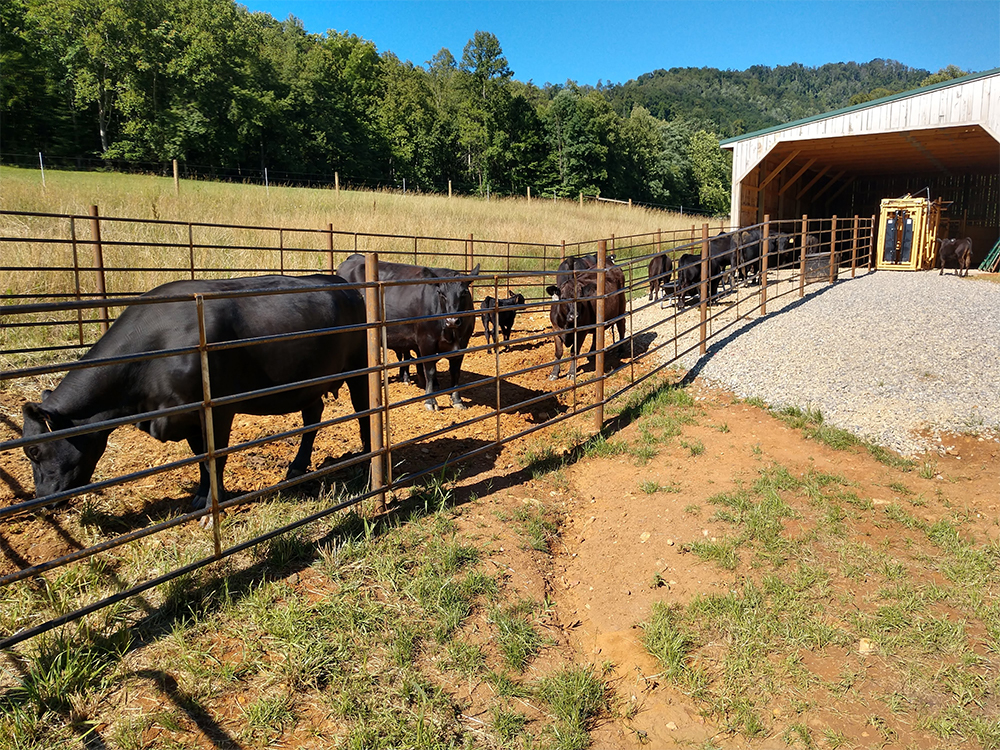 writers-enclave-cattle-1